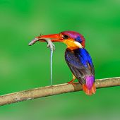Black-backed Kingfisher, Ceyx Erithacus, Carrying Lizard As A Prey For Its Chicks