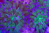 picture of torches  - This is a branching torch coral Euphyllia glabrescens - JPG
