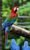 picture of green-winged macaw  - Green-winged Macaw perching on the branch with very nice details and background colorful macaw with blue and gold macaw sitting below