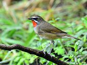Male Of Siberian Rubythroat Bird (luscinia Sibilans) Standing On The Branch
