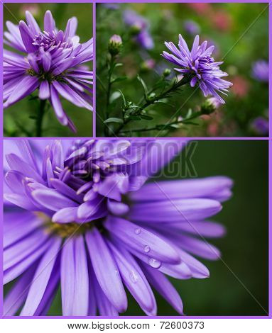 Collection Of Lilac Asters