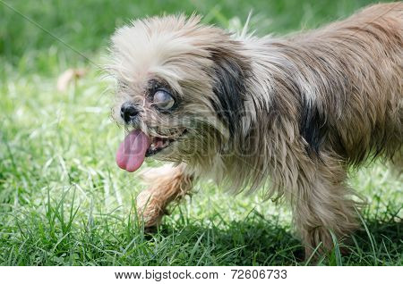 Blind Dog Walking Alone In The Park