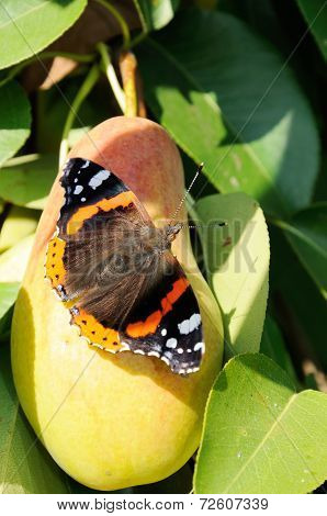 Red Admiral Butterfly On Ripe Pear