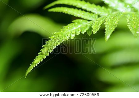 Rain Drops On Fern Leaf