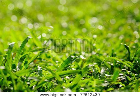 Grass With Water Drops In The Early Natural Green Background