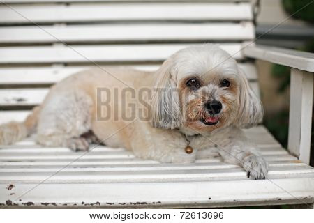 Adorable Shih Tzu Puppy Relaxing