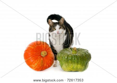 Cat with two pumpkins