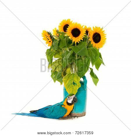 Macaw & sunflowers