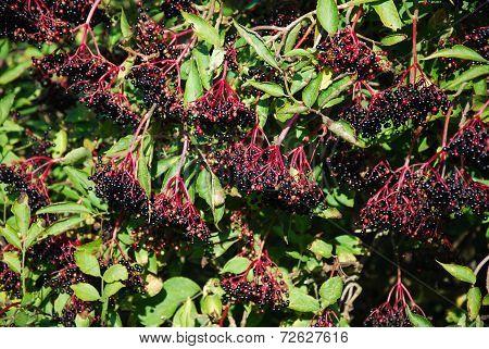 Growing Elderberries