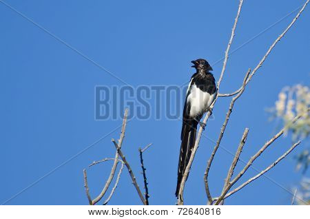 Black-billed Magpie Calling While Perched In A Tree