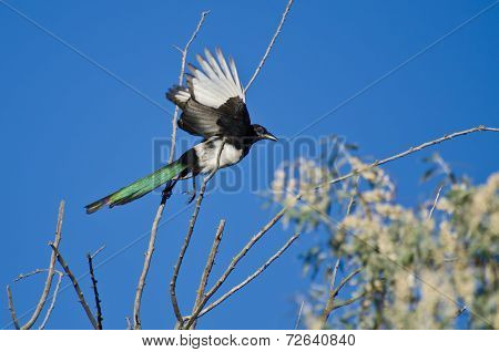 Black-billed Magpie Taking To Flight From A Tree