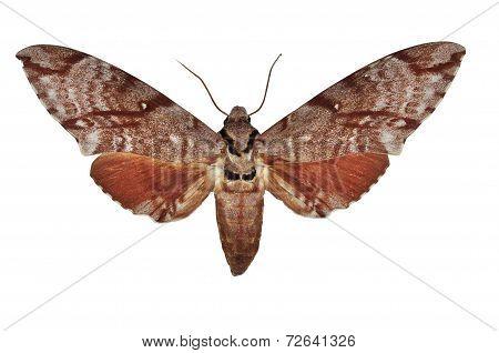 Meganoton Analis Moth