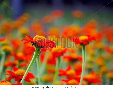 Vivid Red Zinnia Field