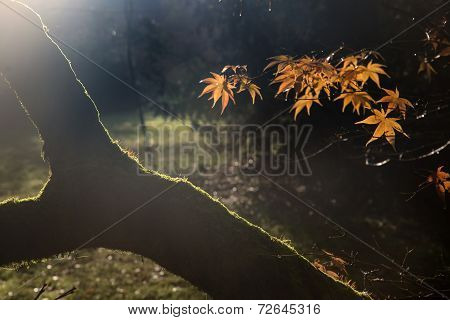 Beautiful Golden Autumn Leaves With Bright Backlighting From Sunrise