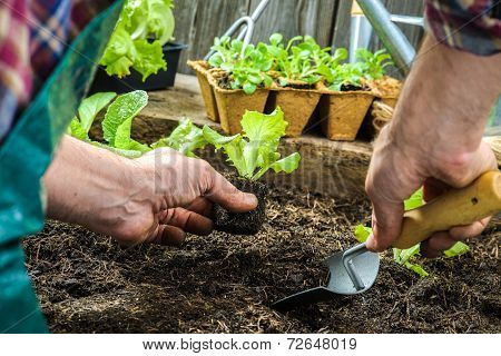 Farmer Planting Young Seedlings
