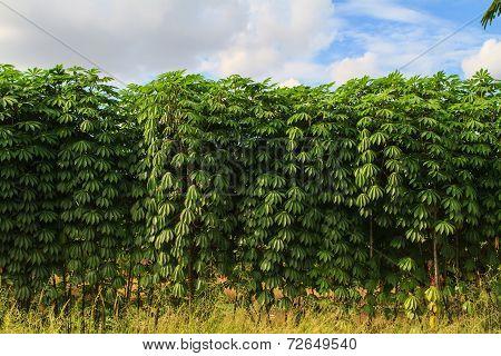 Cassava plant in the farm