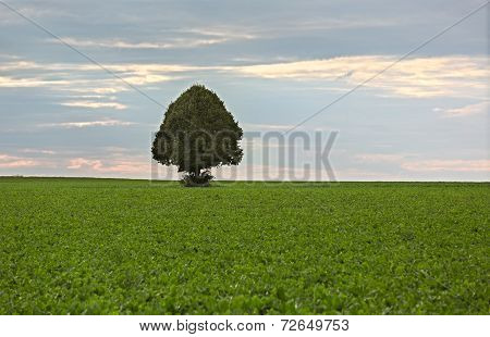 Lonely tree in field of sugar beets, Rhine-Hesse, Germany
