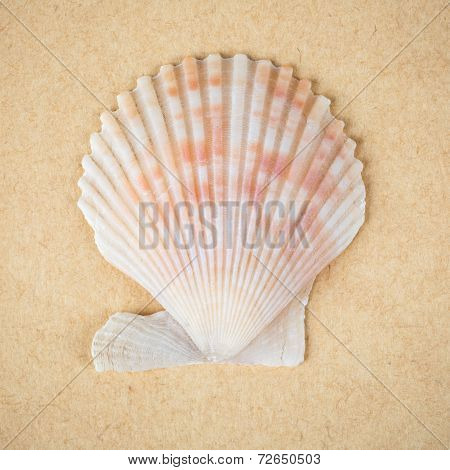 Scallop Shell Closeup