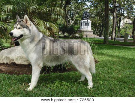Husky Standing