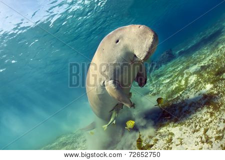 dugong aka sea cow