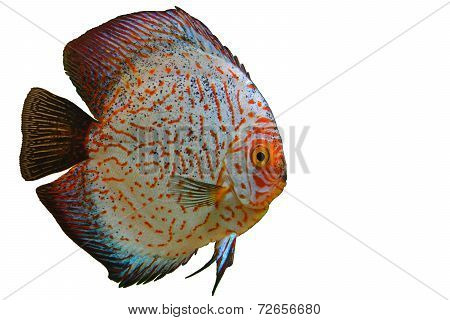 Discus Aquarium Fish Transparent Background