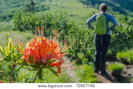 Flame Azalea With Hiker In Background