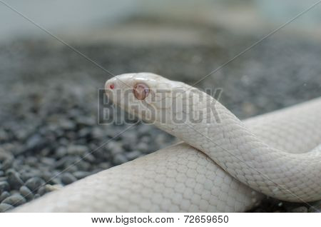 texas rat snake or Elaphe Obsoleta