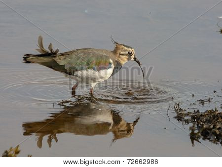 lapwing bird