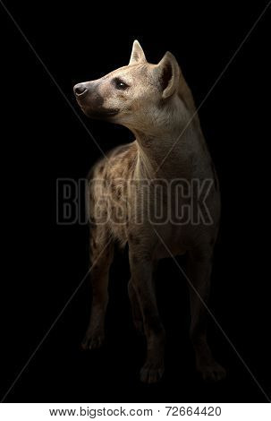 Spotted Hyena In The Dark
