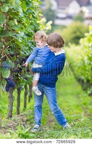 Cute Happy Boy And His Adorable Baby Sister Picking Fresh Grapes Together In vine yard