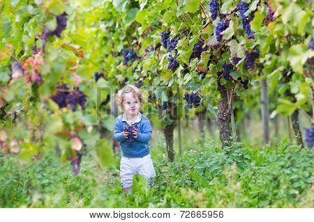 Sweet Little Baby Girl Picking Fresh Ripe Grapes In A Beautiful Sunny Autumn Vine Yard