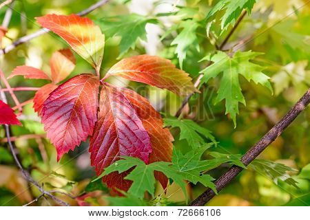 Red Viginia Creeper And Maple Leaves