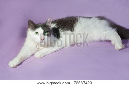 White Longhair Cat With Gray Spots Sitting On Purple