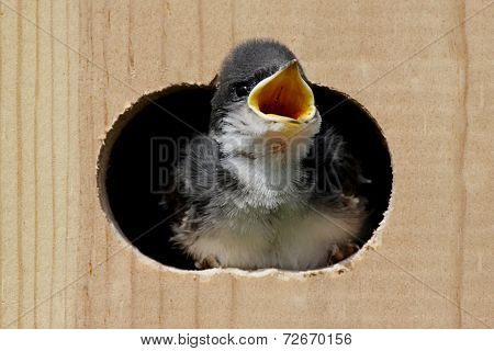 Baby Tree Swallow In A Bird House