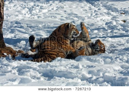 Amur Tiger Cubs Playing