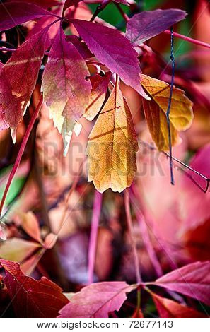 Reddish Autumn Leaves