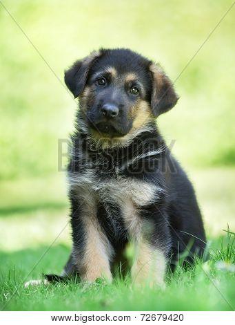 German Shepherd Puppy With Tilted Head