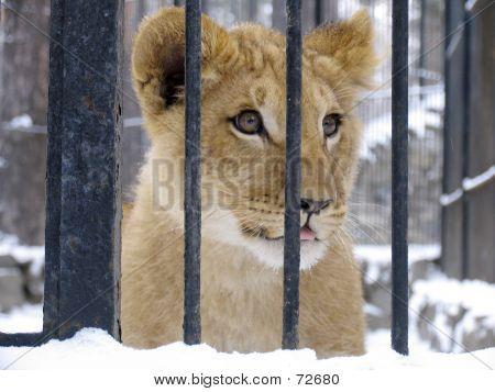 Baby leeuw