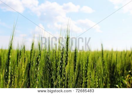 Prarie wheat field