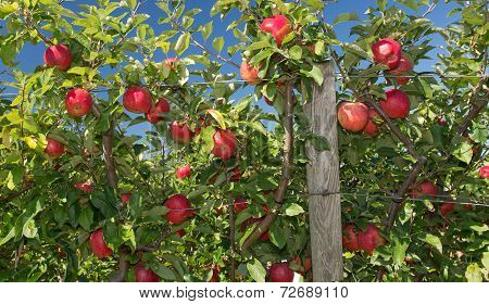 Ripe, Red Apples On The Vine.