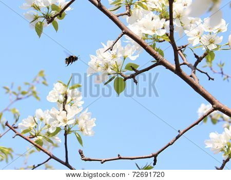 Bumblebee fly on a blossoming apple tree