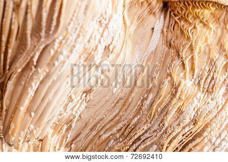 Mushroom Hymenophore