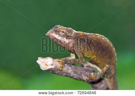 Calumma Tigris - Seychelles Chamaleon Portrait, Endemic