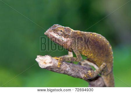 Calumma Tigris - Seychelles Chamaleon Portrait, Endemic closeup