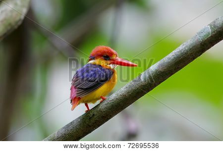Oriental Dwarf Kingfisher Black Backed Kingfisher Ceyx Lacepede