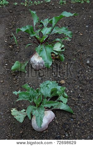 Beetroot, Red Beet (beta Vulgaris Subsp. Vulgaris)