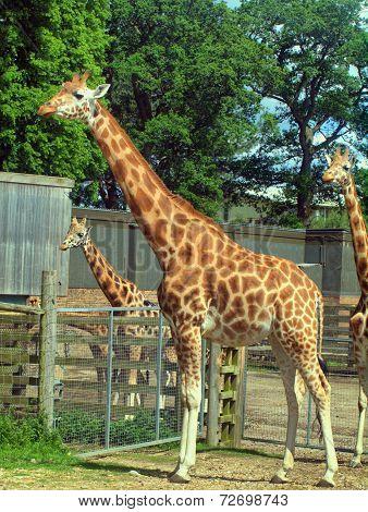 Giraffe In The Uk Zoo