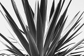 stock photo of mezcal  - close up of an agave black and white version - JPG