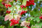 stock photo of mountain-ash  - branch of mountain red ash green background - JPG