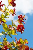 stock photo of mountain-ash  - bunch of mountain red ash and sky background - JPG